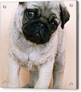 Pug Puppy Dog Acrylic Print