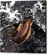 Puhi'ula The Giant Red Eel  Acrylic Print