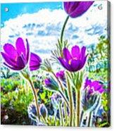 Pulsatilla Vulgaris Flowers Acrylic Print