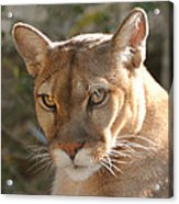Puma Closeup Acrylic Print