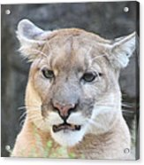 Puma Head Shot Acrylic Print by John Telfer