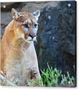 Puma On The Watch Acrylic Print