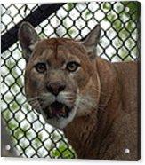 Puma Stare Acrylic Print