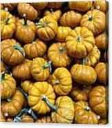 Pumpkin Galore. Acrylic Print