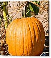 Pumpkin Growing In Pumpkin Field Acrylic Print