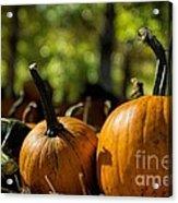 Pumpkin Line Up Acrylic Print