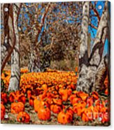 Pumpkin Patch Acrylic Print