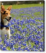 Pup In The Bluebonnets Acrylic Print