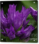 Puple Passion Acrylic Print