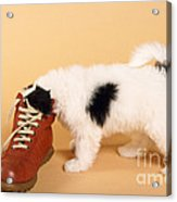 Puppy Dog With Head In Red Shoe Acrylic Print