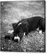 Puppy Eyes In Black And White Acrylic Print