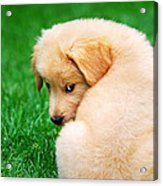Puppy Love Acrylic Print by Christina Rollo
