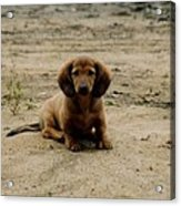 Puppy On The Beach Acrylic Print