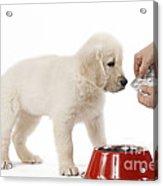 Puppy Receiving Medicine Acrylic Print