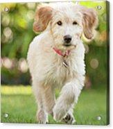 Puppy Running Through The Grass Acrylic Print