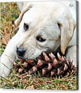 Puppy With Pine Cone Acrylic Print