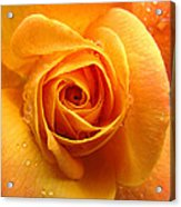 Pure Gold - Roses From The Garden Acrylic Print