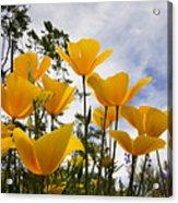 Purely Poppies  Acrylic Print