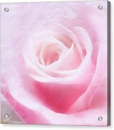Purity And The Pink Rose Acrylic Print