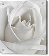 Purity Of A White Rose Flower Acrylic Print