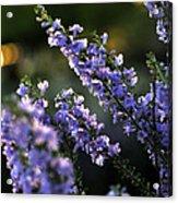 Purple 29987 Acrylic Print