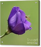 Purple 4 Acrylic Print