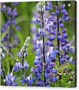 Purple Alaskan Lupines Acrylic Print