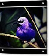 Purple And Blue Robin Acrylic Print