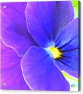 Purple And Blue Viola Acrylic Print