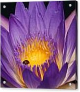 Purple And Bright Yellow Center Waterlily... Acrylic Print