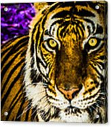 Purple And Gold Tiger Acrylic Print