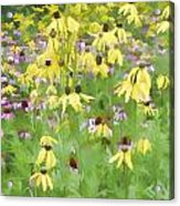 Purple And Grat Coneflowers Acrylic Print