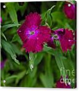 Purple And Red Acrylic Print