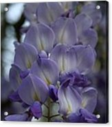 Purple And Violet Wisteria Blossom  Acrylic Print