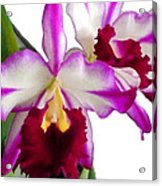 Purple And White Cattleyas Against White Space Acrylic Print