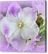 Purple And White Fancy African Violets Acrylic Print
