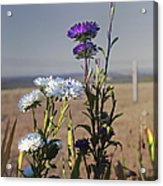 Purple And White Flowers In The Sun Acrylic Print