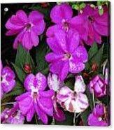 Purple And White Acrylic Print