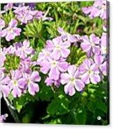 Purple And White Phlox Acrylic Print