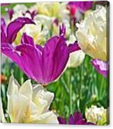 Purple And White Tulips Acrylic Print