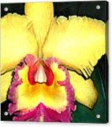 Purple And Yellow Cattleya Orchids Acrylic Print