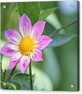 Purple And Yellow Dahlia Acrylic Print