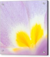 Purple And Yellow Primrose Petals - Bright And Soft Spring Flower Acrylic Print