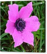 Purple Anemone - Anemone Coronaria Flower Acrylic Print