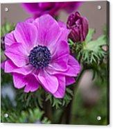 Purple Anemone. Flowers Of Holland Acrylic Print