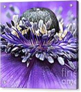 Purple Anemone Acrylic Print
