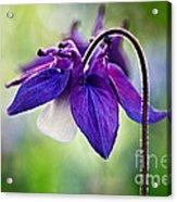Purple Aquilegia Acrylic Print