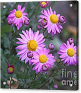 Purple Asters Acrylic Print
