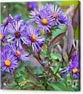 Purple Asters Acrylic Print
