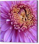 Purple Autumn Mum Acrylic Print